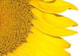 Slunečnice izolovaných na bílém pozadí — Stock fotografie