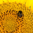 Close up macro bee working on sunflower — Stock Photo #42359005