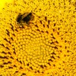 Close up macro bee working on sunflower  — Fotografia Stock  #43918869