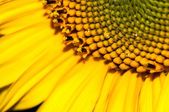 Ddrop of water on ripe sunflower close up — Stockfoto