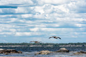 Wild ducks flying over the sea — Stock Photo