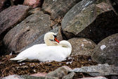 Swan Sitting In The Nest On Stone — Stock Photo