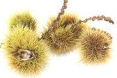 Ripe sweet chestnuts — Stock Photo