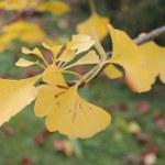 Yellow Ginkgo twig — Stock Photo