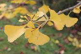 Yellow Ginkgo twig — Stock Photo