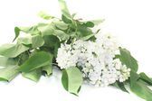 A bouquet of white lilac blossoms — Stock Photo