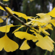 Ginkgo — Stock Photo #33777437