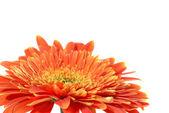 Fiore rosso gerbera — Foto Stock