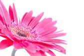 Paarse bloem gerbera — Stockfoto