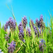 Blue flowers grape hyacinths — Stock Photo