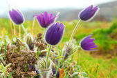 Flowers Pasqueflower (Pulsatilla patens) — Stock Photo