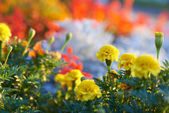 Field of multicolored flowers — Stock Photo