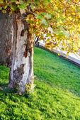 日当たりの良い公園の大きな木 — ストック写真