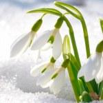 Постер, плакат: Spring snowdrop flowers