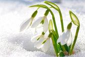 Spring snowdrop flowers — Stock Photo