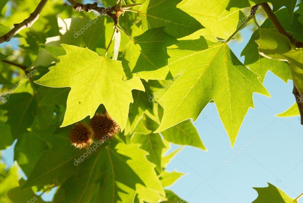 silverjohn  新鲜的绿色枫叶 annaomelchenko  新鲜绿色的树叶拼贴画图片