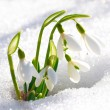 Spring snowdrop flowers — Stock Photo