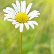 Chamomile on the field — Stock Photo #22890770