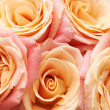 Bunch of orange and red beautiful roses. - Stock Photo