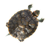 Red ear turtle — Stock Photo