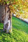Wielkie drzewo w parku słoneczny — Zdjęcie stockowe