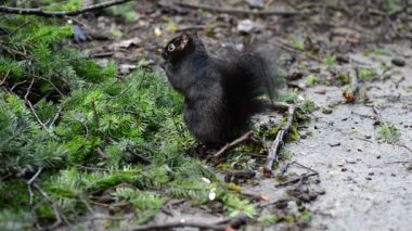 Many black squirrels feeding under green pine tree in the park — Stock Video