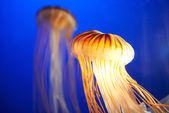 Orange jellyfish (Chrysaora fuscescens) — Stock Photo