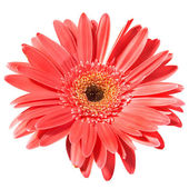 Red flower gerbera — Stock Photo