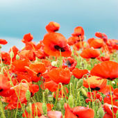 Poppies on the field — Stock Photo