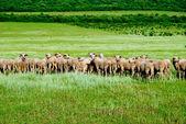 群羊 — 图库照片
