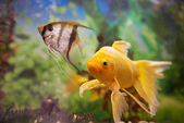 Barevné ryby v akváriu — Stock fotografie