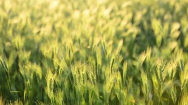 Field of grass on sunset. Nature background, focus motion — Stock Video