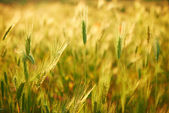 Field of grass on sunset — Stock Photo