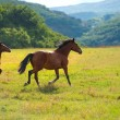 Running dark bay horses — Stock Photo