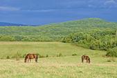 Dark bay horses — Stock Photo