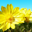 Yellow flowers — Stock Photo