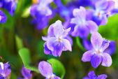 Viola flowers — Photo