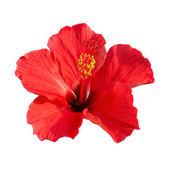 Hibiscus rosa sinensis — Stock Photo