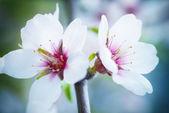 Almond white flowers — Stock Photo