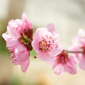 Almond pink flowers — Stock Photo