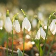 Snowdrop — Stock Photo #42729879