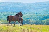 Running dark bay horses — Stock Photo