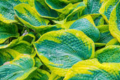 Green leaves (hosta) with water drops — Stock Photo