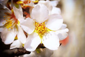 Almond white flowers — Stock Photo