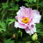 Spring time: red poppy flower in the garden — Stock Photo #12270832