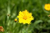 Wild nature, summer time - yellow decorative daisy, Coreopsis — Stock Photo