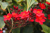 Blooming tropical tree with bright red flowers — Stock Photo