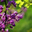 Close up of violet blossoming Cercis siliquastrum plant at Cauca - Stock Photo