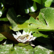 Green frog on the lotus leave in the lake — Stock Photo #13377051