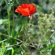 Close up of red poppy flower in the field — Stock Photo